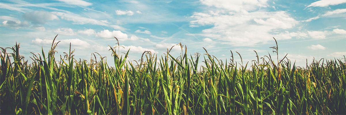 Champ-maïs-engagement-développement-durable-APCards